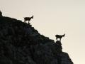 Bouquetin des alpes - Capra ibex