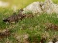 Lagopède alpin - Lagopus muta