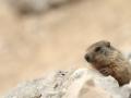 03 - Courageuse mais pas téméraire (Marmotte des Alpes - Marmota marmota)