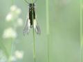 10 - L'Afroscalaphe (Ascalaphe soufré - Libelloides coccajus)