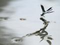 16 - Miroir, mon beau miroir (Calopteryx vierge - Calopteryx virgo)