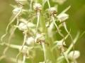06 - Le bouc spiralé (Orchis bouc - Himantoglossum hircinum)