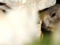 13 - Cache cache marmotte (Marmotte des Alpes - Marmota marmota)