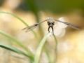 Libellule à quatre taches – Libellula Quadrimaculata