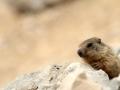 06 - marmotte