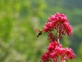 papillon_01