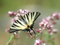 papillon_03