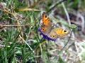papillon_10