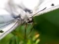 papillon_12