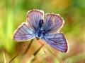 papillon_13