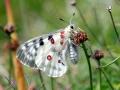 papillon_14