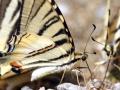 papillon_15