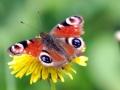 papillon_17