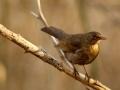 Merle noir - Turdus merula - Common Blackbird