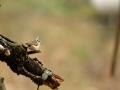 Mésange huppée - Lophophanes cristatus - European Crested Tit
