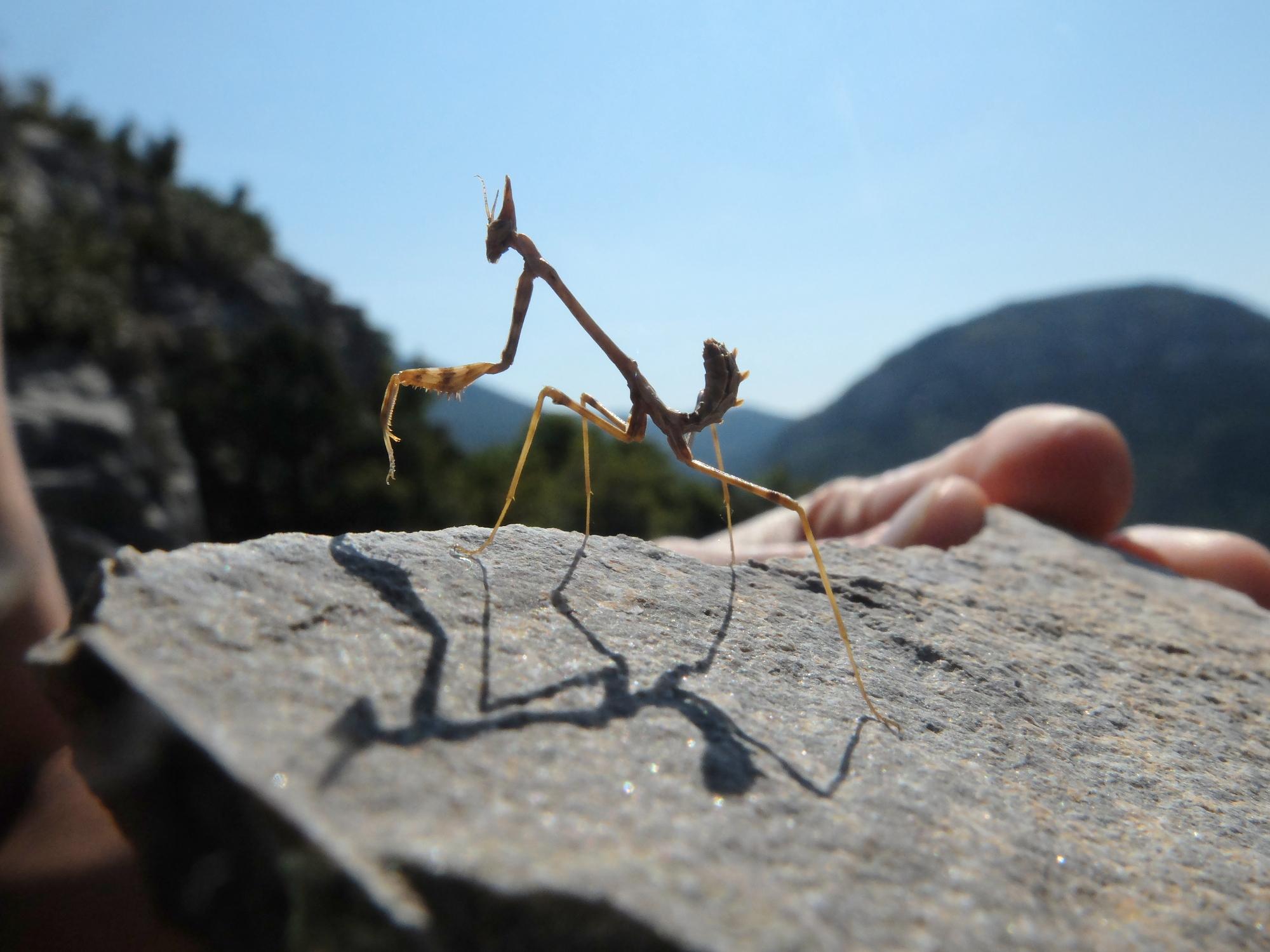 Empuse commune - Empusa pennata / Conehead mantis