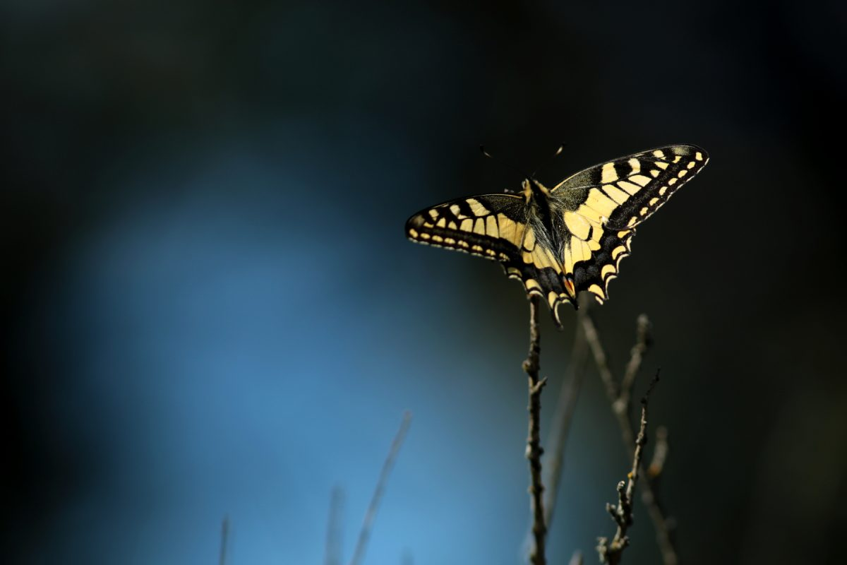 machaon dans la lumiere