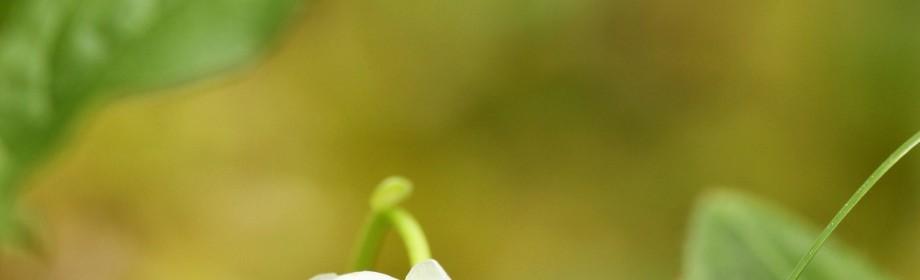 pyrole à une fleur