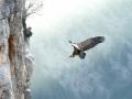 Vautour fauve - atterrissage