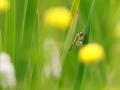 Libellule à quatre tâches - Libellula quadrimaculata