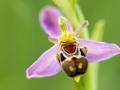 Mai - L'abeille envoutante (Ophrys abeille - Ophrys apifera)