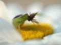 Thomise tricolore - Diaea dorsata