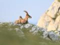 06 - Un bon bain de soleil (Bouquetin des alpes - Ibex ibex)