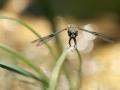 08 - Evinrude (Libellule à quatre taches - Libellula quadrimaculata)