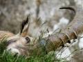 11 - Face de bouquetin (Bouquetin des alpes - Capra ibex)