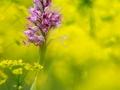 16 - Explosion de couleurs (Orchis casqué - Orchis militaris)