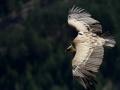 02 - vautour fauve