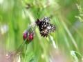 papillon_02