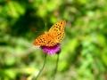 papillon_08