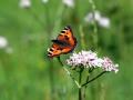 papillon_09