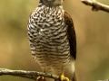 Epervier d'Europe (juv) - Accipiter nisus - Eurasian Sparrowhawk