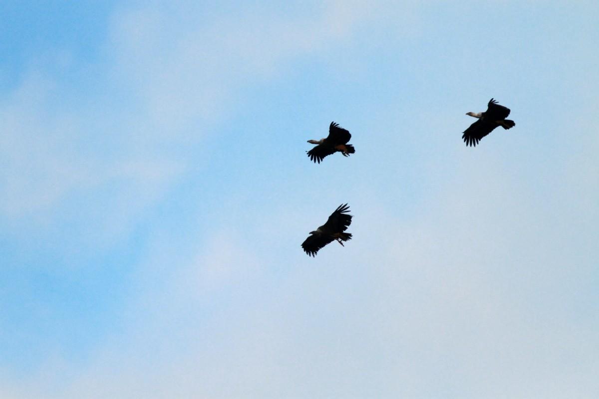 vautour fauve - tandem