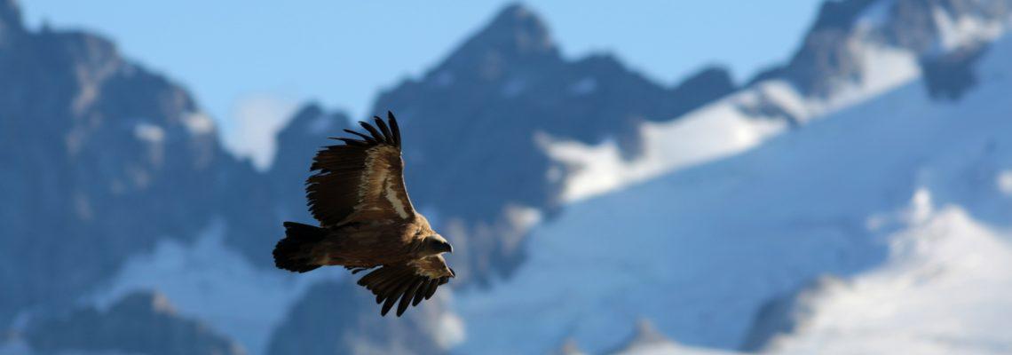 vautour fauve devant la meije