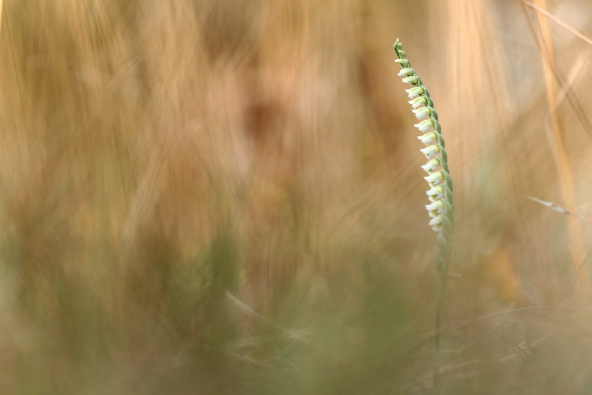 Spiranthe d'automne - Spiranthes spiralis - Autumn lady's-tresses