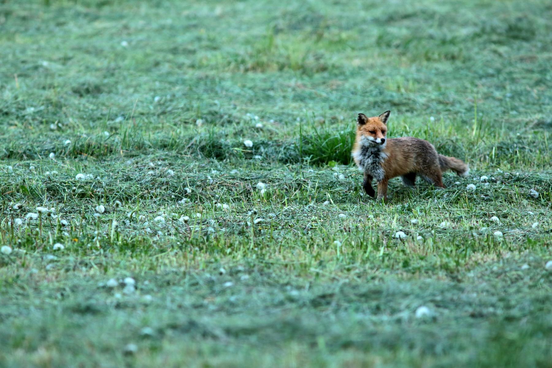 Renard roux - Vulpes vulpes - Red fox
