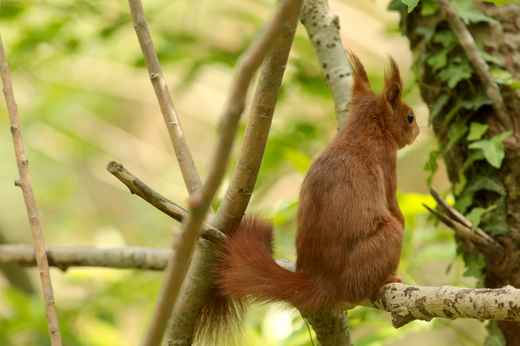 Écureuil roux - Sciurus vulgaris - Eurasian Red squirrel