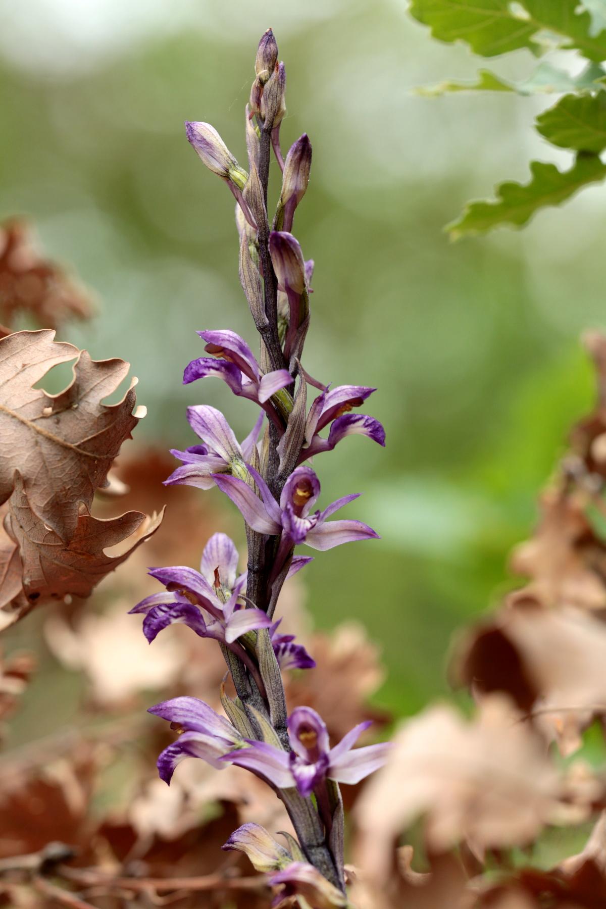 Limodore à feuilles avortées - Limodorum abortivum - Violet limodore
