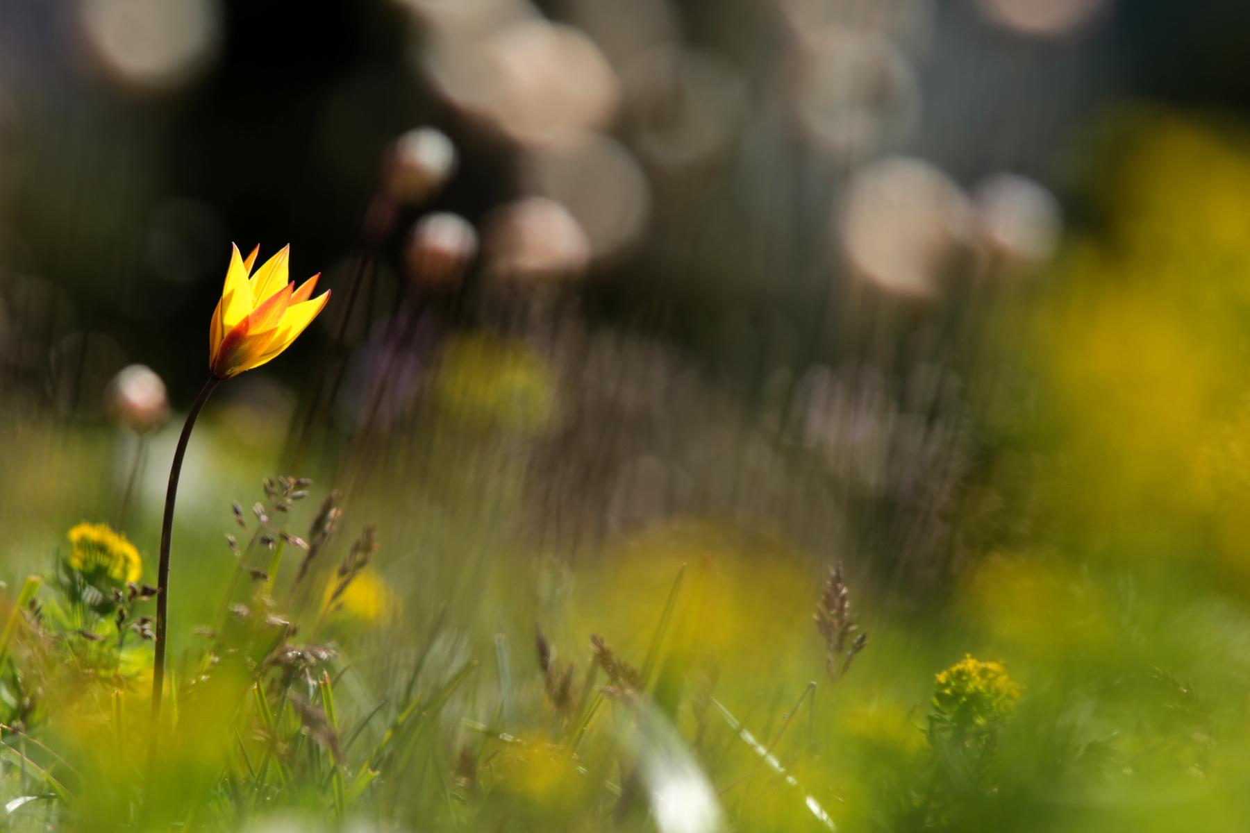 Tulipe australe - Tulipa sylvestris subsp australis - Wild tulip
