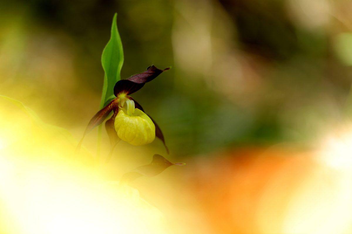 Sabot de venus - Cypripedium calceolus - Lady's-slipper orchid