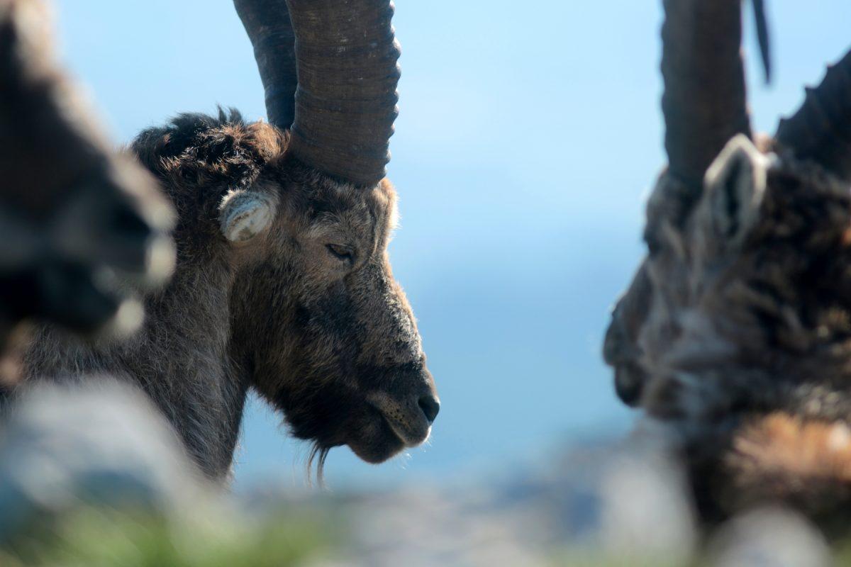 Bouquetin des alpes - Capra ibex - Alpine ibex