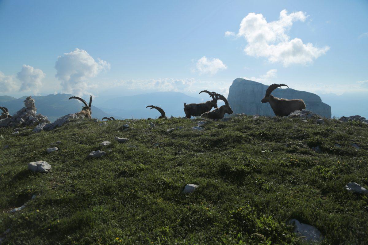 Bouquetin des alpes - Ibex ibex - Alpine ibex
