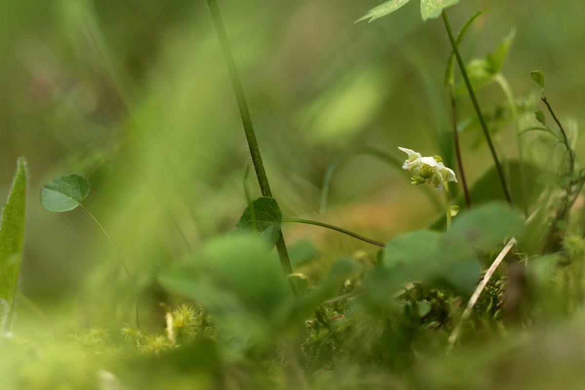 Pyrole à une fleur - Monoses uniflora - One-flowered Wintergreen