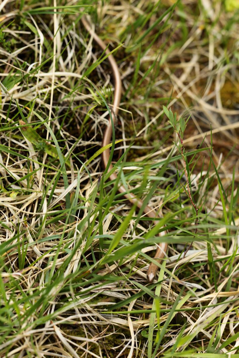 Orvet fragile - Anguis fragilis - Slow worm