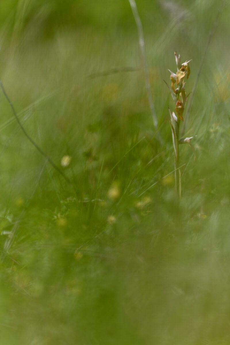Serapias à labelle long hypochrome - Serapias Vomeracea hypochrome - Long-lipped Serapias
