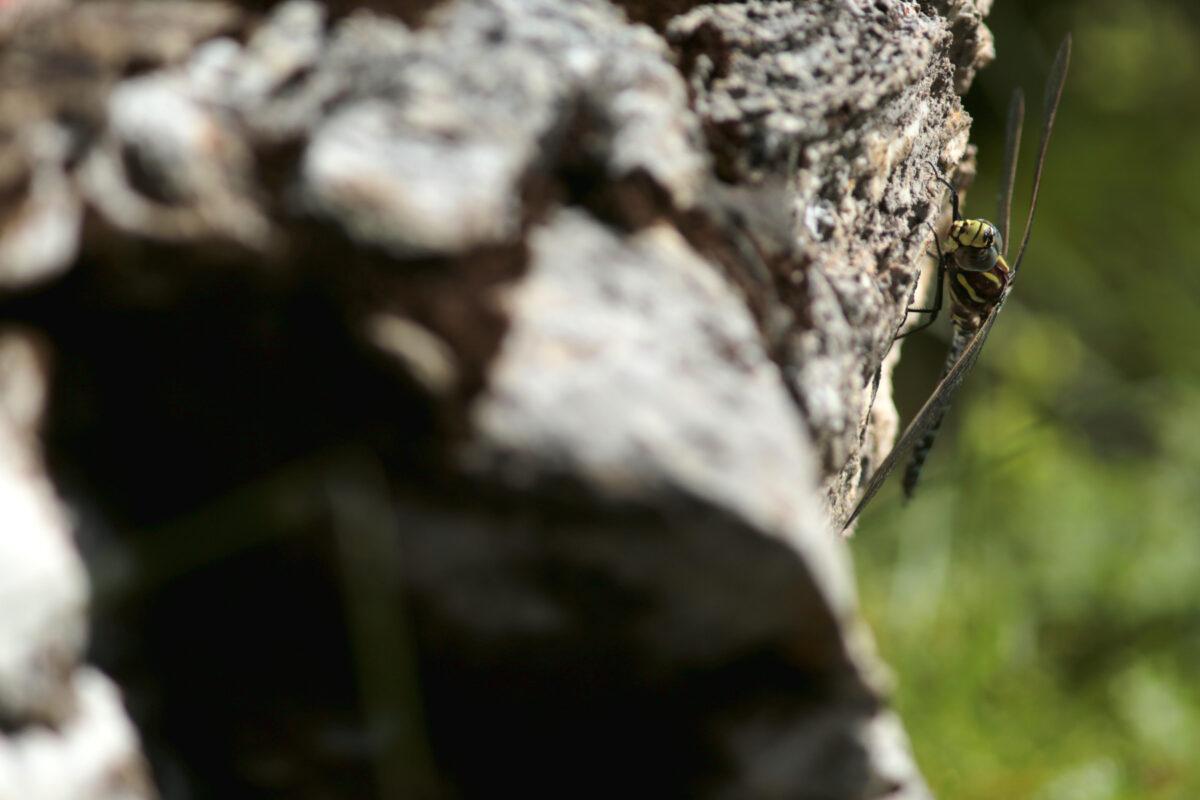 Le dragon du lac - The dragon of the lake Aeschne des joncs - Aeshna juncea - Common hawker