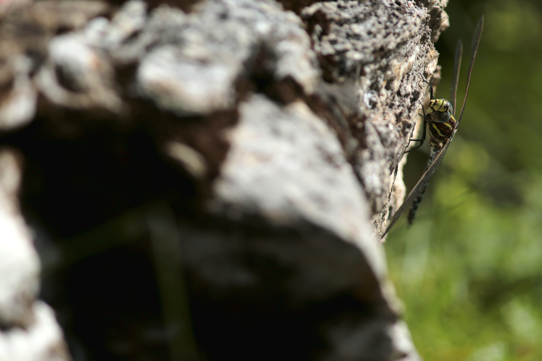 Aeschne des joncs - Aeshna juncea - Common hawker